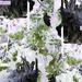 Chrysanthemum Reboot
